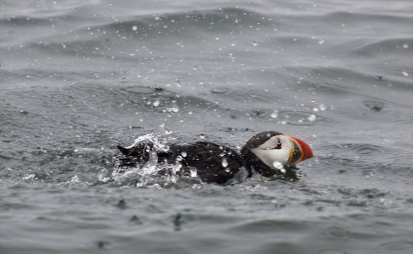 A puffin splashes in the sea near Eastern Egg Rock in Muscongus Bay, about six miles east of Pemaquid Point in Maine.
