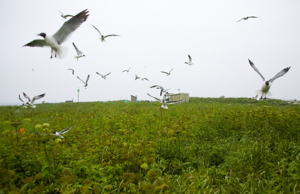 Nesting birds fly around Eastern Egg Rock. Steve Kress, the founder of Project Puffin, talks about the current status and ongoing research of puffins on Eastern Egg Rock in Muscongus Bay, about six miles east of Pemaquid Point in Maine.