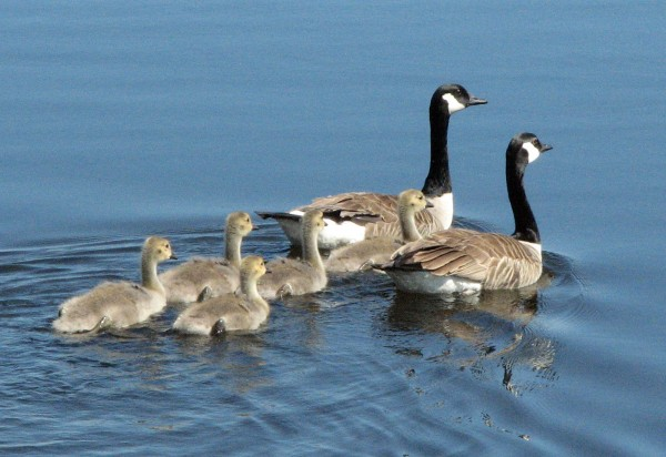 Much like eagles, geese require long-term pair bonds to get the child-raising accomplished.
