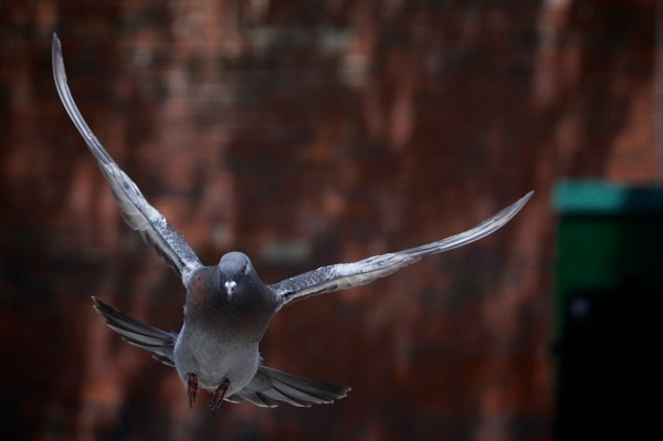 A pigeon soars across Portland's Congress Square on its way to nibble bread from Starr Sarabia's hand.