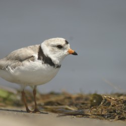 Beachgoers: Beware of endangered piping plover chicks, watch where you step