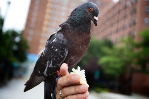 A pigeon perches on Starr Sarabia's hand in Portland's Congress Square as he offers it bread. Sarabia said he likes to think of the birds as the reincarnated spirits of the homeless, come back to Earth in a different form.