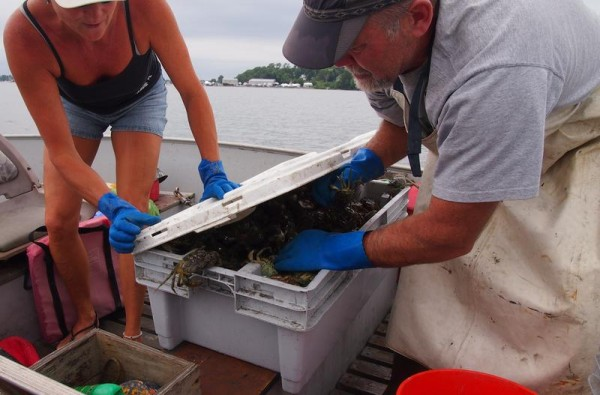 Clint and Andrea Goodenow of Freeport attempt to shut the lid on a bin full of the invasive species known as green crabs caught Monday as part of a trapping experiment in the Harraseeket River.