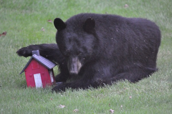 This young black bear took particular interest in a bird feeder in Tim Schuck's Glenburn yard recently.