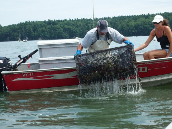 Freeport clammer Clint Goodenow pulls a green crab trap out of the Harraseeket River on Monday.