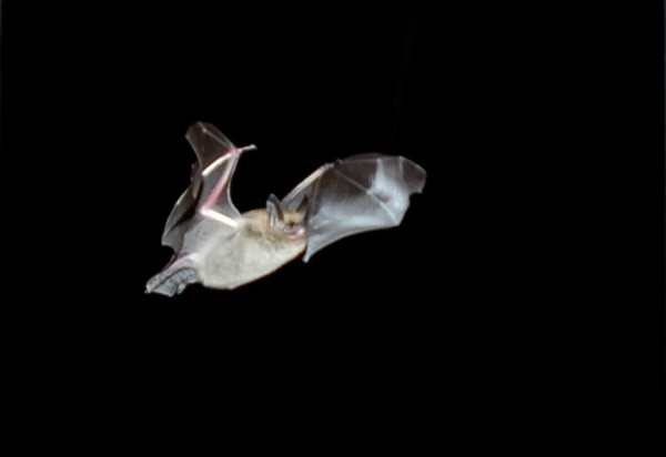 A brown bat drops in through an open door and flies around the screened in porch last summer at Rusty Metal Farm.