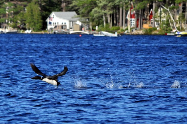 A loon flies over Wilson Lake in Acton. Tourists come to the York County town seeking solitude.