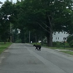 Bear cub running around South Berwick distracts, captivates town