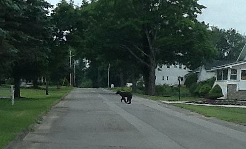 A bear runs across High Street in Newport Wednesday July 10th.