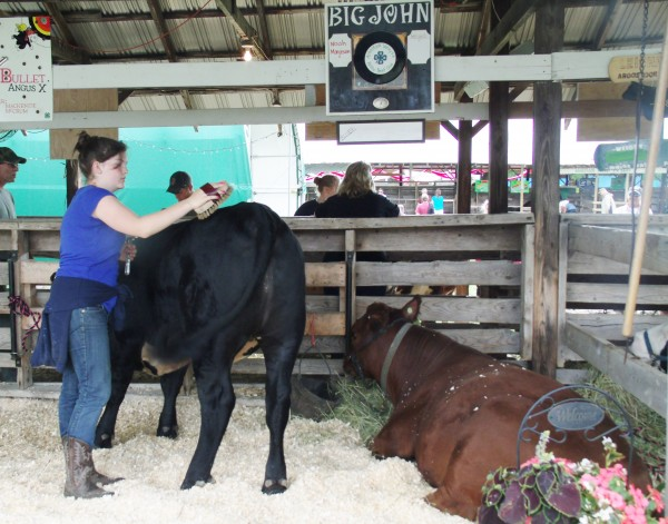 Mackenize McCrum, 15, of Washburn, grooms her steer, Bullet, as Big John, the steer belonging to Noah Margeson of Westmanland, sits nearby. Both McCrum and Margeson are members of the Aroostook Valley Baby Beef 4-H Club and were preparing to walk their animals in the livestock show ring on Saturday.