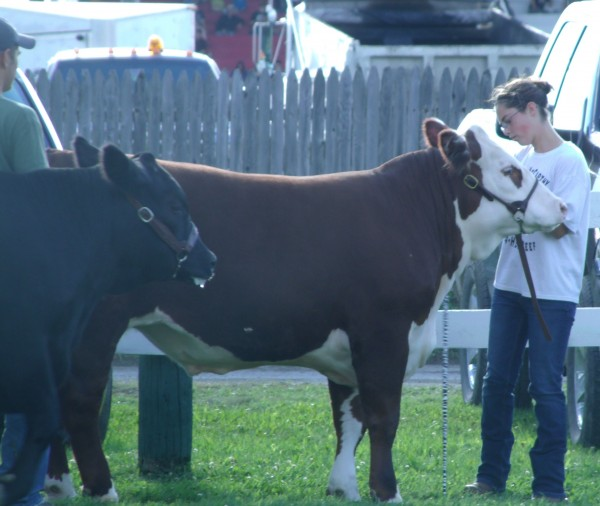 Darcie Campbell McCarthy, a member of the Aroostook Valley Baby Beef 4-H Club, takes a second to care for her steer, Bandit, in the livestock show ring at he Northern Maine Fair on Saturday.