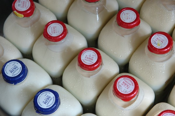 After being poured into glass bottles, warm, raw milk is placed in a cooler at White's Orchard Farm in Frankfort. Although banned in many states because of health concerns, unpasteurized dairy products still can be purchased in Maine.  Gov. Paul LePage recently vetoed a bill to deregulate small-scale production of raw milk.