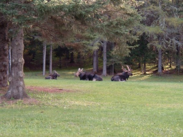 A bull, a cow and a calf moose lounging on the lawn about 75 feet behind Cindy Damboise's Connor Township home back in 2011.