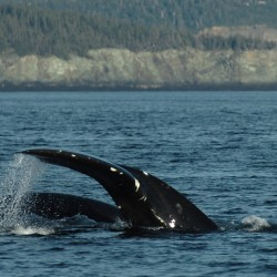 A mother North Atlantic right whale and her calf move through the Bay of Fundy near Grand Manan in 2009.