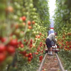 Backyard Farms brings employees back, expects tomatoes to hit shelves in January