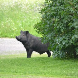 Runaway pig from Aroostook offered asylum in Hancock County