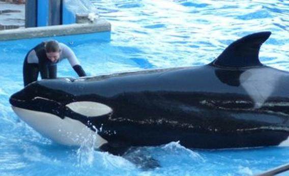 An unidentified trainer works with a killer whale during the &quotBelieve&quot show at SeaWorld in Orlando, Fla., on Feb. 14, 2010. Ten days later, a killer whale at the park killed a trainer.