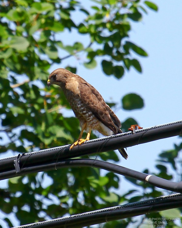 Blue-winged hawk