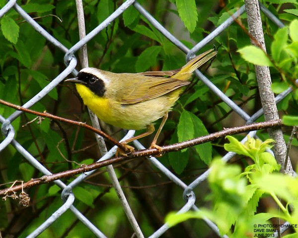 A common yellowthroat.