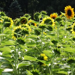 Hope garden on the tour specializes in sunflowers!