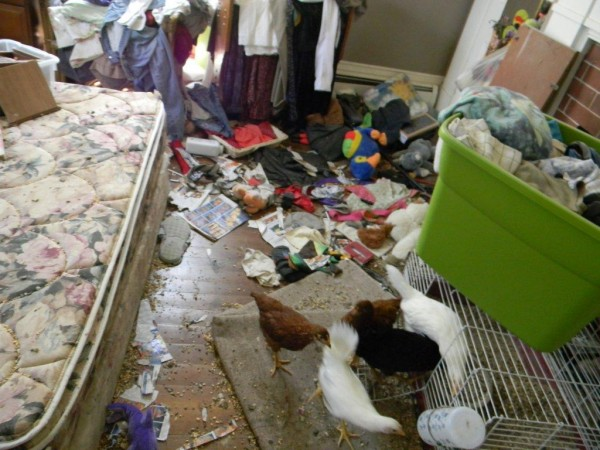 Chickens living in an upstairs bedroom at a home on High Street in Old Town. They had no food or water, police reported.