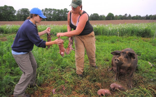 Hanne Tierney (right) hands piglets to Caitlin Curcuruto on a damp, cool mid-June morning at Cornerstone Farm in Palmyra. The piglets - that were born about 30 minutes earlier - and their mother had to be moved into the barn, so they would have shelter from the elements. Curcuruto is one of the MOFGA apprentices who live on the farm. She said that she is happy to be able to learn about small scale farming, but she finds the long workdays exhausting.