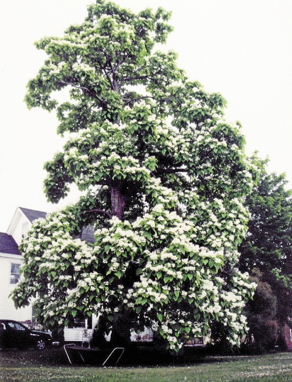 Although considered a Southern tree, a catalpa blooms next to a house on Fern Street in Bangor. The blooms resemble trumpet-shaped flowers.