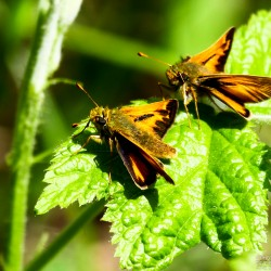 A pair of Hobomok skippers.