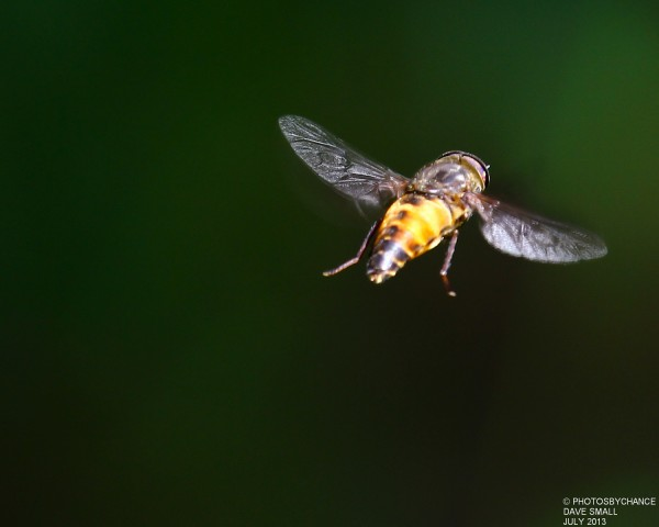 Hovering insect.