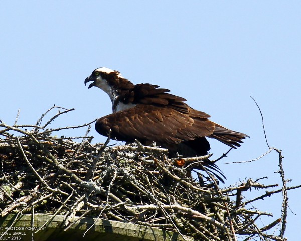 Osprey in a nest.