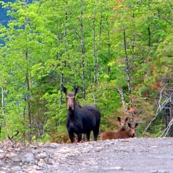 Cow moose and twins near Shin Pond