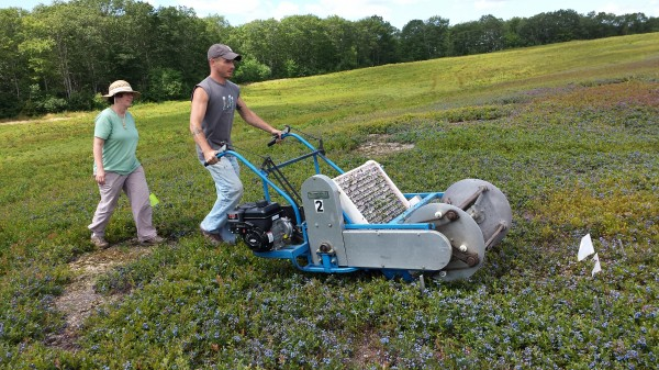 Chris McMannus, a farm technician with the University of of Maine Blueberry Farm in Jonesboro, operates a mechanical raker to harvest blueberries near Cherryfield on Wednesday. Following McMannus is UM associate professor Seanna Annis. A small volume was being harvested as part of a UM research study of blueberry growing practices.