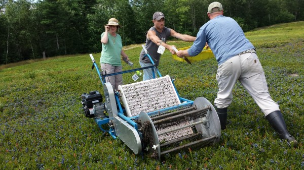 Chris McMannus of the University of Maine Blueberry Farm in Jonesboro hands off a box of freshly picked blueberries to another member of a crew harvesting blueberries near Cherryfield on Wednesday as part of a UM research study. To the left of McMannus is UM associate professor Seanna Annis.