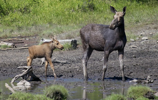 Moose feed near Moosehead Lake in Maine in June. Warmer winters mean more ticks in New Hampshire, and a dramatic rise in the tick population has devastated the Granite State's moose population.