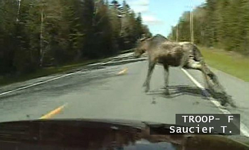 Trooper Timmy Saucier''s cruiser camera recorded this video seconds before his car collided with this moose near Ashland in Aroostook County in 2010. The impact threw the animal over the hood and into the windshield of the car. Saucier was not injured.