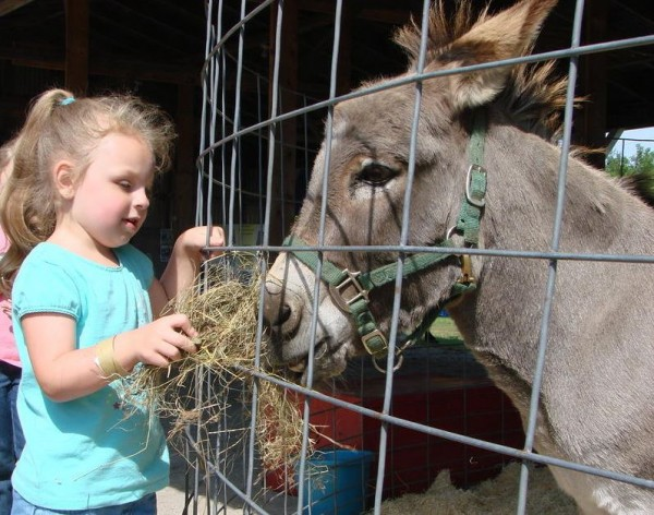 Carissa Saindon of Lewiston feeds hay to a donkey at the Topsham Fair in this file photo from The Forecaster.