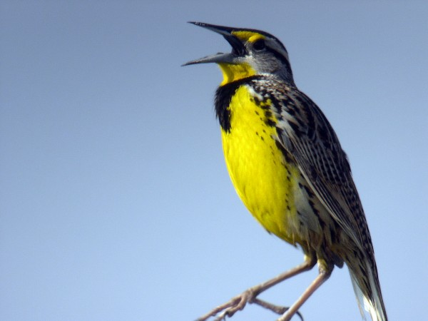 The eastern meadowlark, seen here in July 2012, though far from actual extinction, is becoming harder and harder to find in Maine.