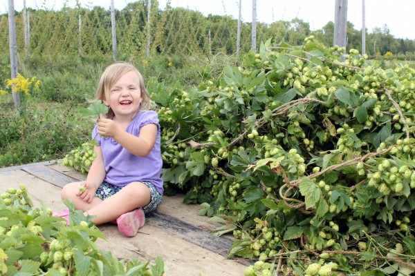 Kathleen, the daughter of Jason Johnston and Krista Delahunty, of Aroostook Hops in Westfield celebrates last year's harvest, riding on a trailer carrying vines bearing mature cones, with the trellised vines visible in the background.