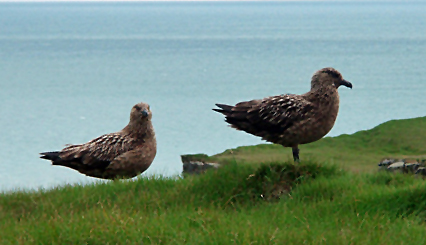 Great skuas nest in the northern hemisphere, mostly on the offshore islands of Scotland, with colonies also in Iceland, Ireland, and Norway.