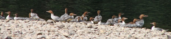 A group of common mergansers huddle on shore. The multi-family group, called a crèche, makes it easy for two or three mother ducks to watch after a large group of fledglings.