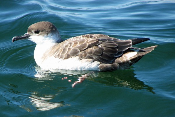 A Great Shearwater, which breeds in the South Atlantic but spends its winter in Maine.
