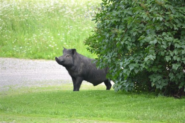 A black Guinea hog has been on the loose for several weeks in the Woodland-Perham area after escaping a trailer on the way to market.