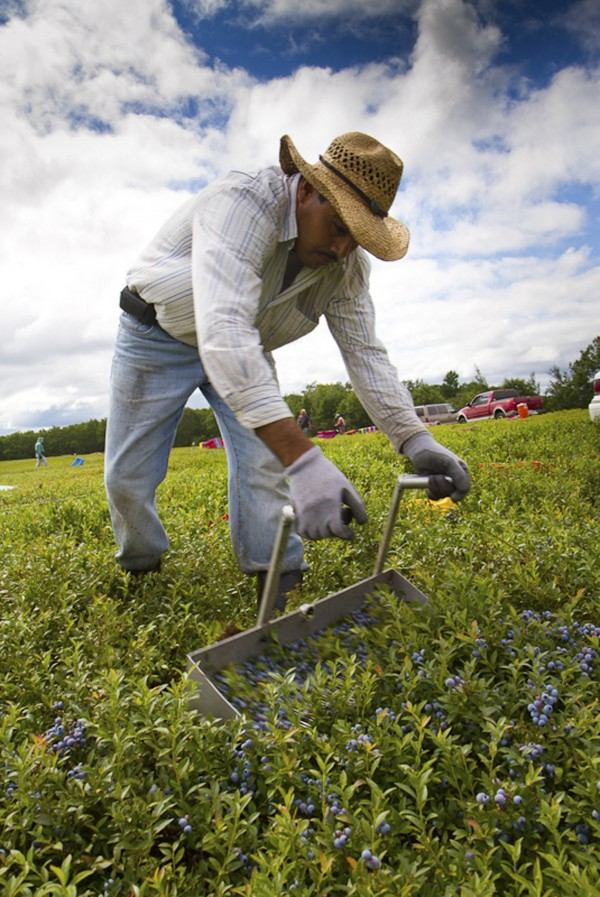 Oscar Argueta, a migrant worker from San Juan de Intibucá, Honduras, rakes wild blueberries from a field in Deblois, Maine on Aug. 6, 2013. Argueta says he can earn as much as $1,000 per week here.