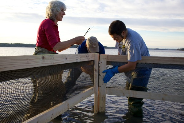 Hilary Neckles (from left), John Lichter and Andre Lopez build a crab exclusion pen in Maquoit Bay in Freeport Friday morning.