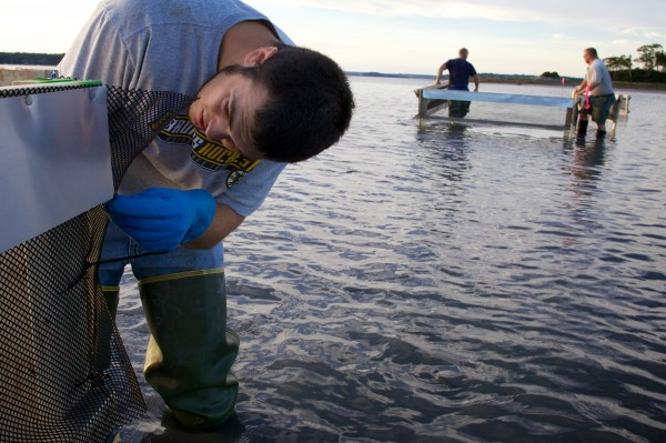 Clammer and study volunteer Andre Lopez uses zip ties to secure a crab exclusion pen in Maquoit Bay in Freeport Friday morning.