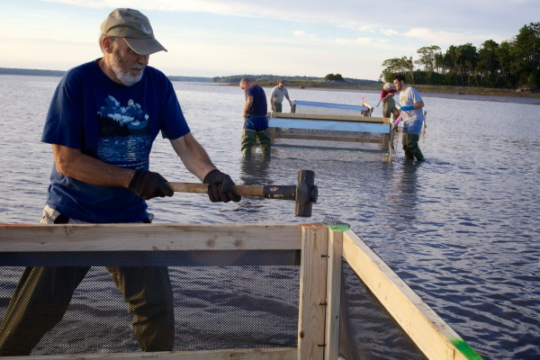 Bowdoin College professor of environmental studies John Lichter pounds a crab exclusion pen into the mud of Maquoit Bay in Freeport Friday morning.