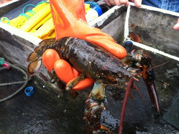 A lobster that was found recently off the coast of Maine near Oak Point in Trenton with apparent lobster shell disease, which has resulted in a noticeable rough shell.