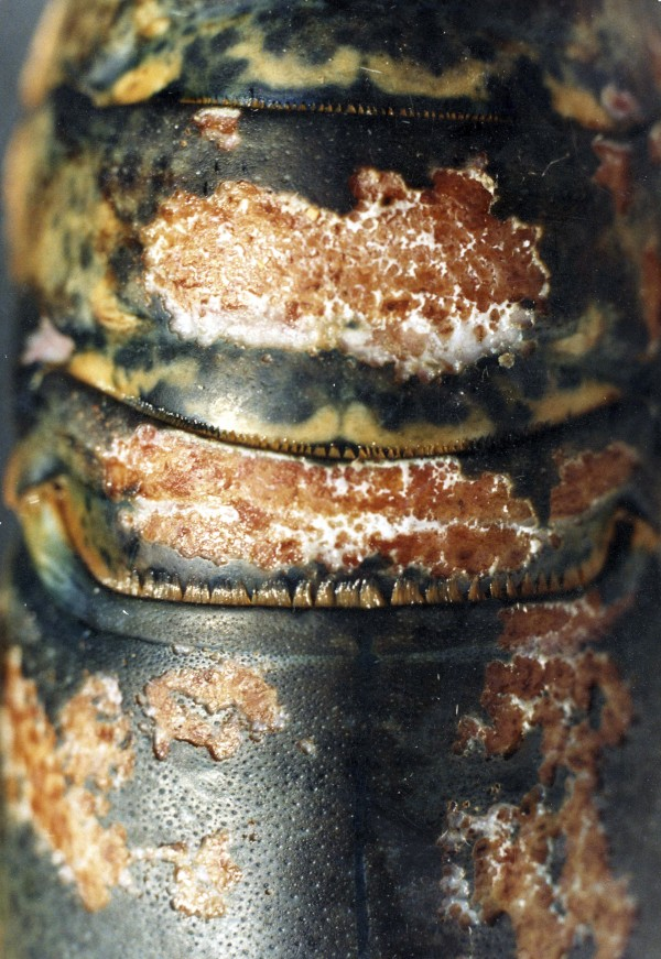Lobster Shell Disease is now affecting Maine lobsters. This image was made several years ago and may not be a Maine lobster, but is an example of the disease.