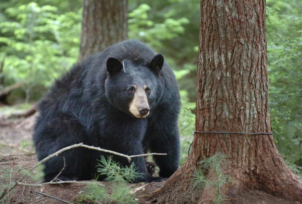 After being trapped by Department of Inland Fisheries and Wildlife biologists in June 2010, a 246-pound female black bear looks toward human visitors in Township 36.