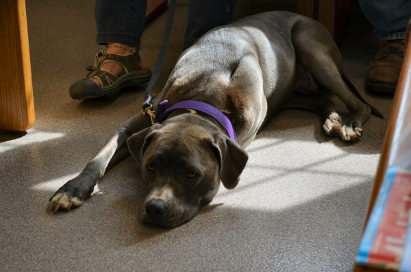 Gracie, a 2-year-old Pitbull, awaits stem cell regenerative therapy for a joint disease in her hips at Foxcroft Veterinary Services in Dover-Foxcroft on Wednesday.